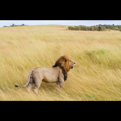 Leoni: ecco il nuovo piano di gestione della fauna selvatica